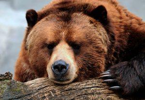 Что делать, если столкнулись с медведем в лесу?