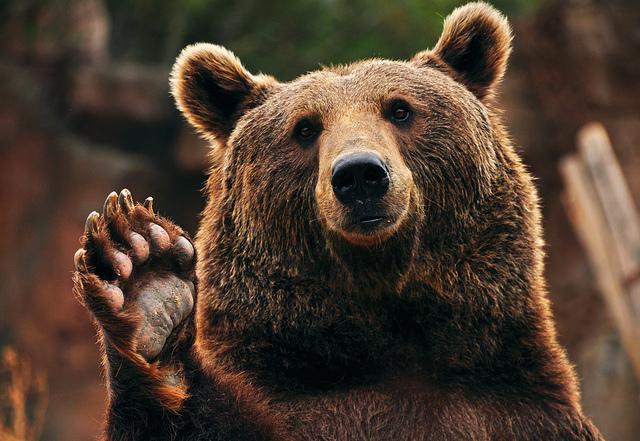 Что делать, если встретили медведя в лесу?